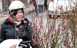 1 triệu đồng/cành đào Nhật Tân, người dân vẫn mua ào ào để chơi Tết Dương lịch