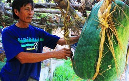 Giải mã bí ẩn ở vùng đất trồng được loại bí gần 100kg/quả