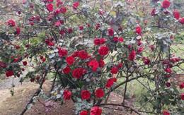 Cây hồng cổ rất đắt mang lại giá trị phong thủy như thế nào?