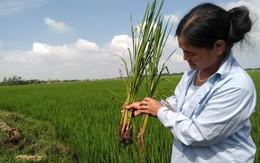 """Huyện Quảng Xương (Thanh Hoá): Nông dân có nguy cơ đói vì lúa """"lạ"""""""