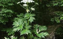 """Loại cây có tên """"rất quen"""", đẹp mà hóa ra cực độc, có thể gây mù vĩnh viễn"""