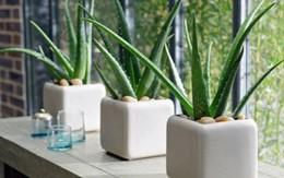 Ngoài làm đẹp và chữa bệnh, đây là lý do quan trọng để bạn trồng ngay 1 chậu nha đam tại nhà