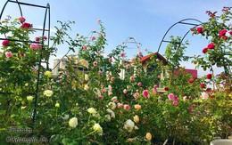 Mê hoa hồng, mẹ HN mượn cả sân thượng hàng xóm để trồng, giờ đã mắt với vườn 350 chậu