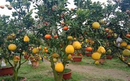 """Chiêm ngưỡng vườn cây thập quả """"độc nhất vô nhị"""" của lão nông Hà Thành"""