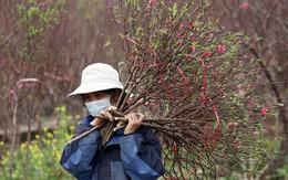 Đào bung nở sớm, giá chỉ 100.000 đồng/cành, nông dân Nhật Tân cắt bán ngay tại vườn