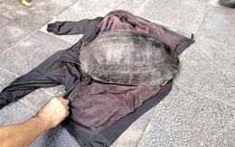 """Bắt """"cụ"""" rùa nặng hơn 10kg ở hồ Hoàn Kiếm"""