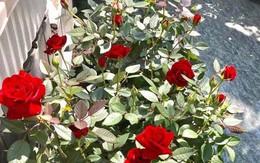 """""""Vườn thượng uyển"""" ngập hoa hồng trên sân thượng của CEO Sài Gòn"""