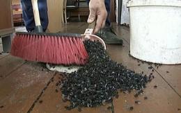 Giống như một bộ phim kinh dị, các đàn ruồi khổng lồ bao trùm khắp những ngôi làng ở Nga