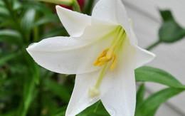 Loài hoa đẹp, rước tài lộc, sức khỏe mùa Vu lan nhưng nhiều người nhầm tên