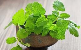 Mùi hương ở loại lá này có tác dụng đuổi gián hiệu quả gấp 100 lần hóa chất diệt côn trùng