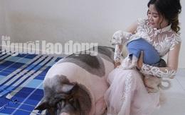 Chuyện lạ: Trước khi về nhà chồng, cô dâu chăm chú heo nặng 160kg trong phòng