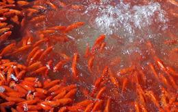 Cá chép đỏ tiễn Táo Quân về trời đắt hàng trước giờ G