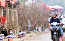 1,5 triệu đồng cành đào Nhật Tân, người dân thích thú mua hưởng không khí Tết sớm