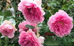 Sân thượng hoa hồng rực rỡ khoe sắc những ngày chớm thu của bà mẹ đảm ở Sài Gòn