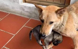 Chú chó mẹ tha con chạy lũ bây giờ ra sao?
