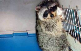 """""""Phượt thủ"""" gấu mèo trốn trong container âm 18 độ từ Mỹ về Việt Nam 35 ngày"""