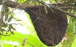 Ném tổ ong trong sân trường, 16 học sinh bị ong đốt nhập viện