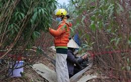 Hà Nội: Các nhà vườn Nhật Tân nhộn nhịp chuẩn bị vụ đào Tết