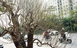 Hà Nội: Ngắm những gốc đào cổ thụ giá cả nghìn USD xuống phố đón Tết