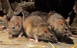 Chuột ra đi không thể trở lại chỉ với 1 vốc xi măng