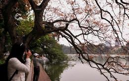 """Dân chụp ảnh mê mẩn với cây bằng lăng """"huyền thoại"""" bên Hồ Gươm đang thay lá"""