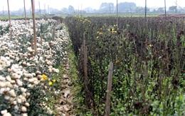 Không tìm được nơi tiêu thụ, nông dân Tây Tựu ngậm ngùi vứt bỏ hoa đầy ruộng