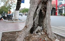 Giật mình với những cây phượng mục ruỗng giữa lòng thành phố Cảng
