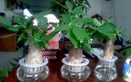 Loại cây thường thấy này lại là cây hút tiền, may mắn, giàu có, thịnh vượng trong phong thủy, còn đuổi được muỗi