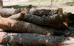 """Cắt tỉa """"quá tay"""" cây xanh ở Nghệ An: Các trường học sẽ lập danh sách chi tiết đặc tính cây!"""