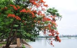 Sắc đỏ hoa phượng rực rỡ khắp trời Hà Nội