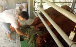 """Cận cảnh """"biệt thự"""" bò của người Ơ Đu ở Nghệ An"""