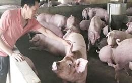 """Giá lợn hơi hôm nay 30/8: Giảm giá liên tiếp, người nuôi """"lo đứng lo ngồi"""""""