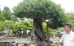 Chiêm ngưỡng bộ ba cây si cổ trị giá chục tỷ đồng của đại gia Vĩnh Phúc