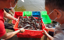 Phóng sinh hơn 1 tấn cá trê xuống sông Sài Gòn