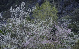 Mùa này đến miền đá nở hoa, không cần tạo dáng cũng dễ dàng có ảnh đẹp ngất ngây nuôi facebook