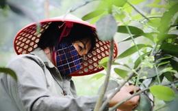 """Nông dân Hà Tĩnh """"se duyên"""" cho bưởi đặc sản"""