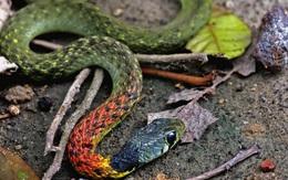 """TP.HCM: Bé gái 15 tháng tuổi tử vong vì bị """"rắn học trò"""" cắn"""