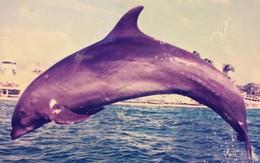 Bi kịch của con cá heo bị chê béo ú không thể biểu diễn: Rơi vào trầm cảm vì cô đơn, lúc chết kêu cứu không ai hay