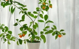 4 loại quả này nảy mầm khi vùi vào đất, trồng trong chậu cũng cho quả trĩu trịt