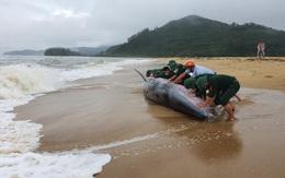 Thừa Thiên Huế: Giải cứu cá voi nặng hàng tấn bị sóng đánh tấp vào bờ