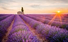 Ngất ngây giữa cánh đồng hoa oải hương Lavender Pháp