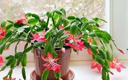 Những loại hoa hút không khí lạnh, mùa đông vẫn lớn phây phây, cho hoa đều