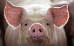 Thịt lợn tăng giá vùn vụt, cú đảo chiều bất ngờ khiến người nuôi thở phào nhẹ nhõm