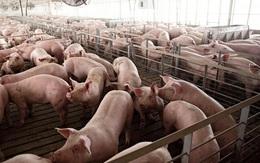 Thịt lợn xuất chuồng siêu rẻ trái ngược hẳn với giá thịt ngoài chợ