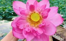 BS bày cách chỉ 1 bông hoa sen làm được ty tỷ thứ từ các món ăn ngon, các bài thuốc tốt đến giảm cân, làm đẹp