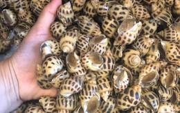 Giá ốc hương giảm mạnh vì dịch COVID-19, nhiều gia đình tranh thủ mua về ăn