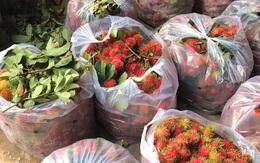 """Chôm chôm chưa đến 5.000 đồng/kg, nhiều chủ vườn """"khóc ròng"""" vì COVID-19"""