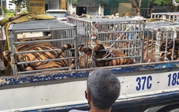 Phát hiện 17 con hổ trưởng thành nuôi ở các cơ sở trái phép
