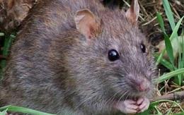 """Rùng mình với đặc sản """"tăng cường sinh lực"""" mà dân Việt phát kiến được làm từ bộ phận nhạy cảm của con chuột"""