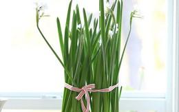 Cách trồng hoa thủy tiên trắng hoàn hảo